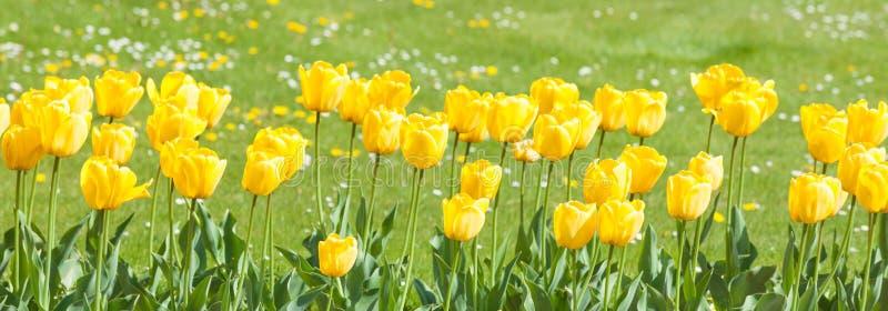Tulipanes amarillos en el jardín fotografía de archivo