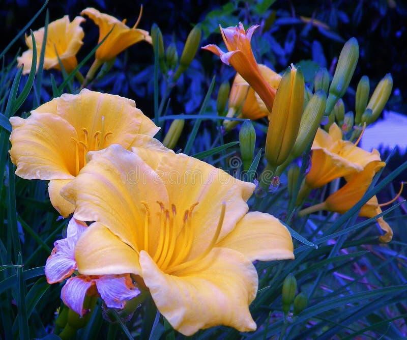 Tulipanes amarillos en hierba verde azul imagen de archivo libre de regalías