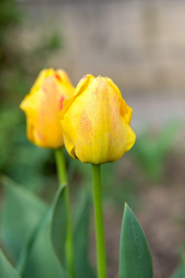 Tulipanes amarillos en primavera fotos de archivo