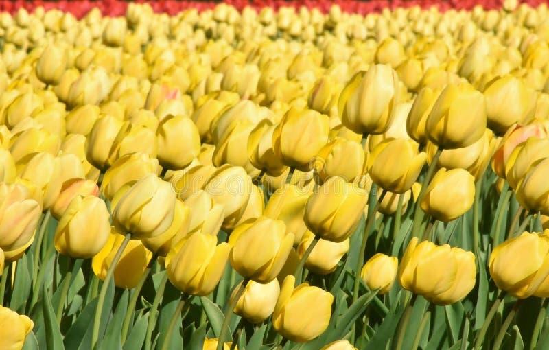 Tulipanes amarillos en un campo Estas flores fueron tiradas en Holanda los Países Bajos cerca de Sassenheim imagen de archivo libre de regalías