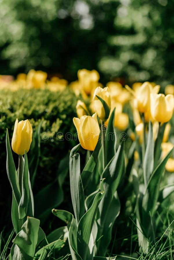 Tulipanes amarillos - foto con las porciones de flores foto de archivo