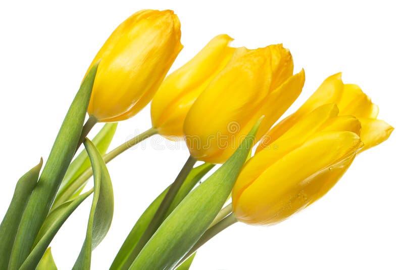 Tulipanes amarillos hermosos sobre el fondo blanco fotos de archivo libres de regalías