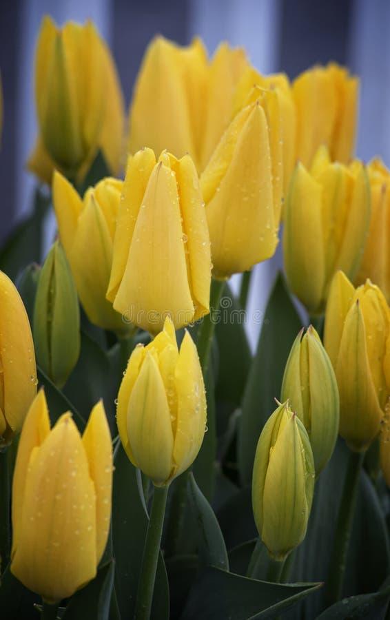 Tulipanes amarillos que colocan gotas de la lluvia altas imágenes de archivo libres de regalías