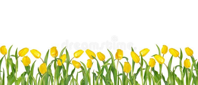 Tulipanes amarillos vivos hermosos en troncos largos con las hojas verdes dispuestas en fila inconsútil Aislado en el fondo blanc libre illustration