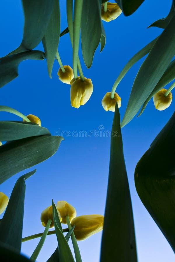 Tulipanes amarillos y cielo azul fotografía de archivo libre de regalías