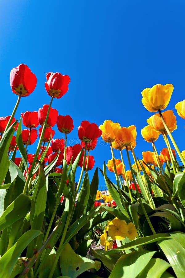 Tulipanes amarillos y rojos fotos de archivo