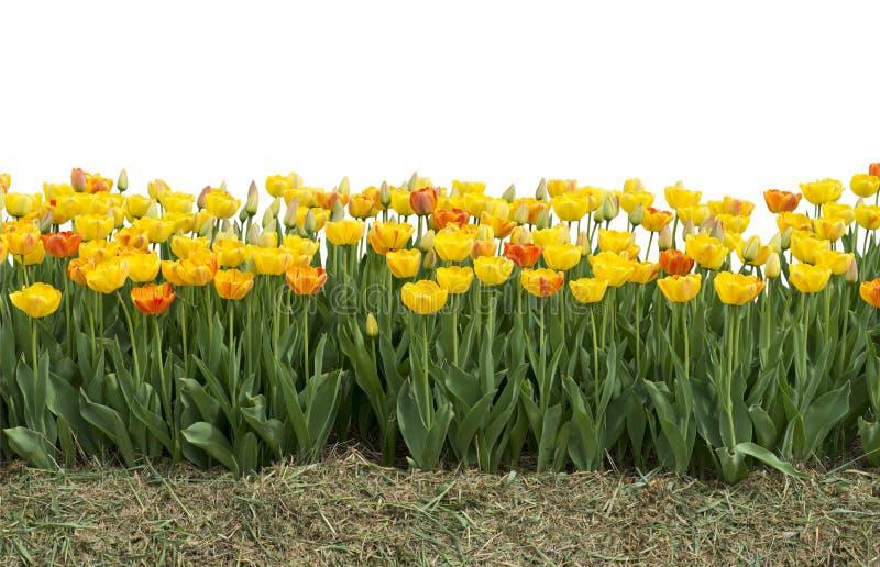 Tulipanes amarillos y rojos aislados en blanco imágenes de archivo libres de regalías