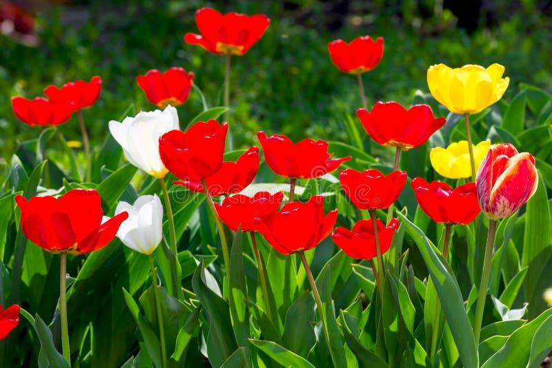 Tulipanes amarillos y rojos en el jardín en un día soleado fotos de archivo
