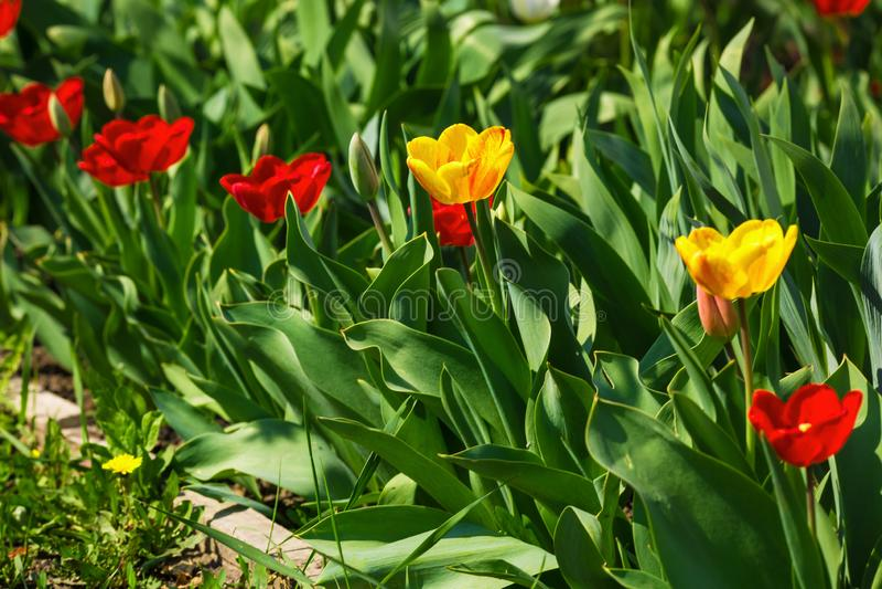 Tulipanes amarillos y rojos en un día soleado imágenes de archivo libres de regalías
