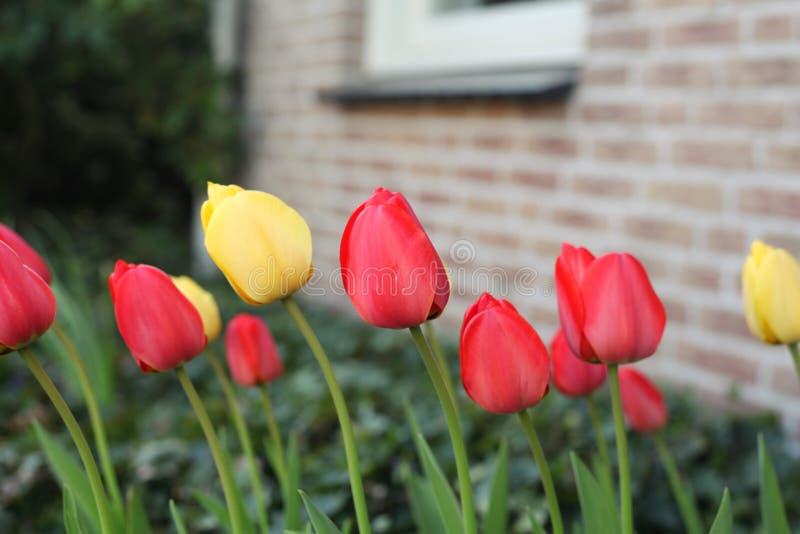 Tulipanes amarillos y rojos en un jardín fotos de archivo