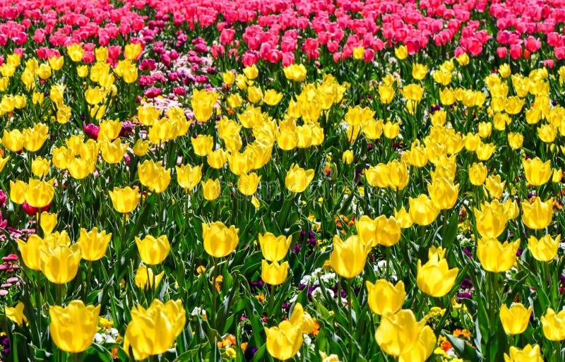 Tulipanes amarillos y rosados coloridos en el jardín Canberra del tulipán de Floriade fotos de archivo libres de regalías