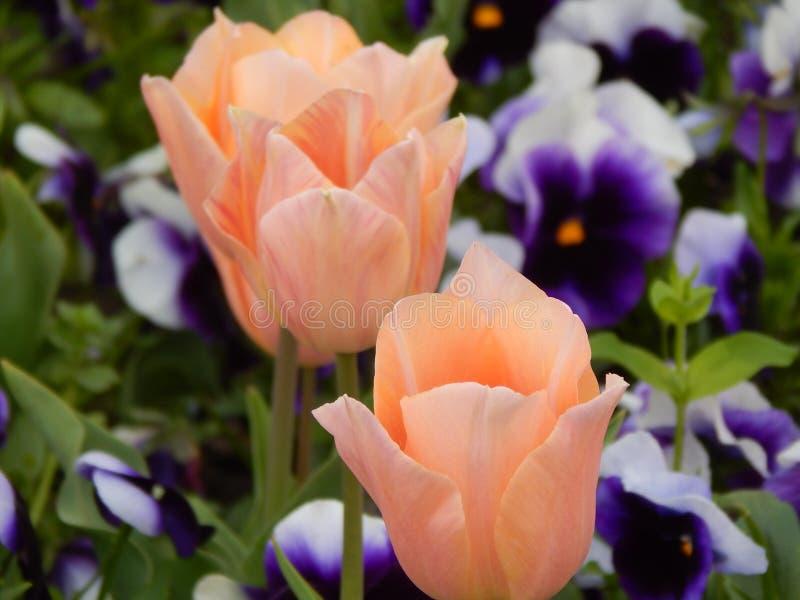 Tulipanes anaranjados fotografía de archivo libre de regalías