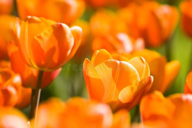 Tulipanes anaranjados en resorte fotos de archivo libres de regalías