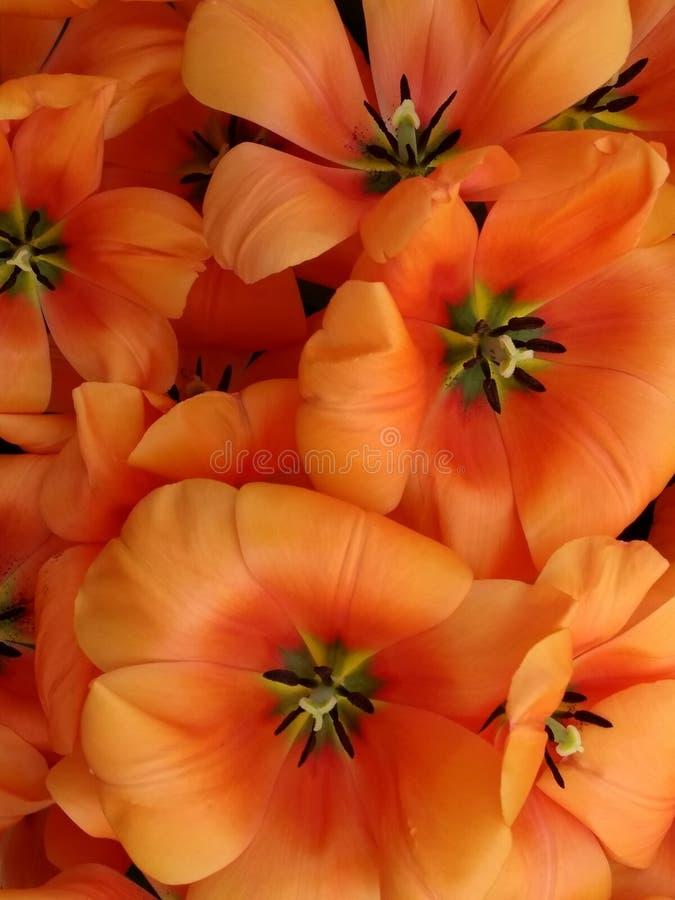 Tulipanes anaranjados múltiples fotos de archivo libres de regalías