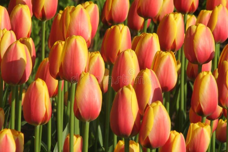 Tulipanes anaranjados y amarillos fotos de archivo libres de regalías