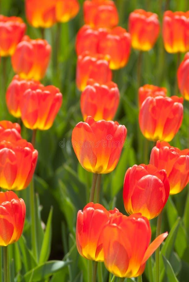 Tulipanes anaranjados y amarillos del fuego fotografía de archivo libre de regalías