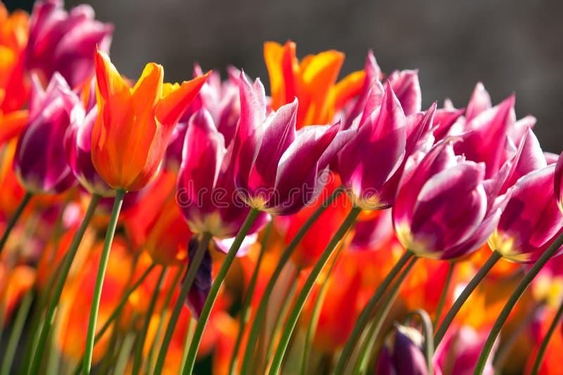 Tulipanes anaranjados y púrpuras imagen de archivo