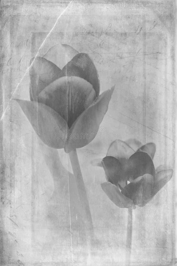 Tulipanes apenados en blanco y negro fotos de archivo