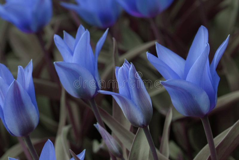 Tulipanes Azules Imagen de archivo