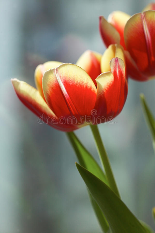 Tulipanes bajo sol fotos de archivo