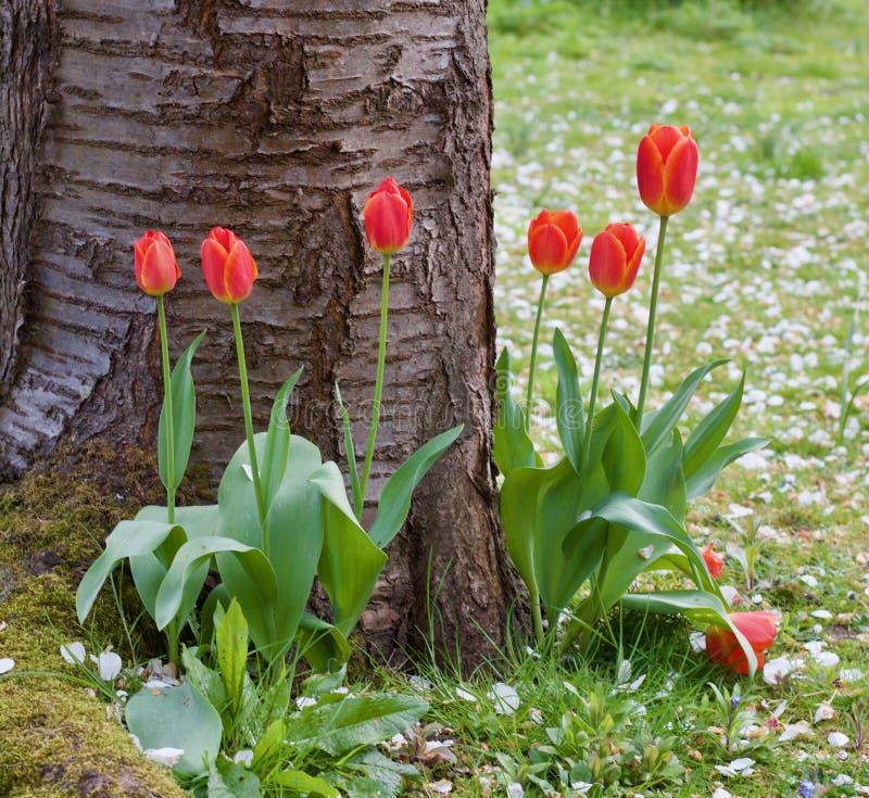 Tulipanes bastante rojos en la base del árbol - escena agradable de la primavera - imagen fotografía de archivo libre de regalías