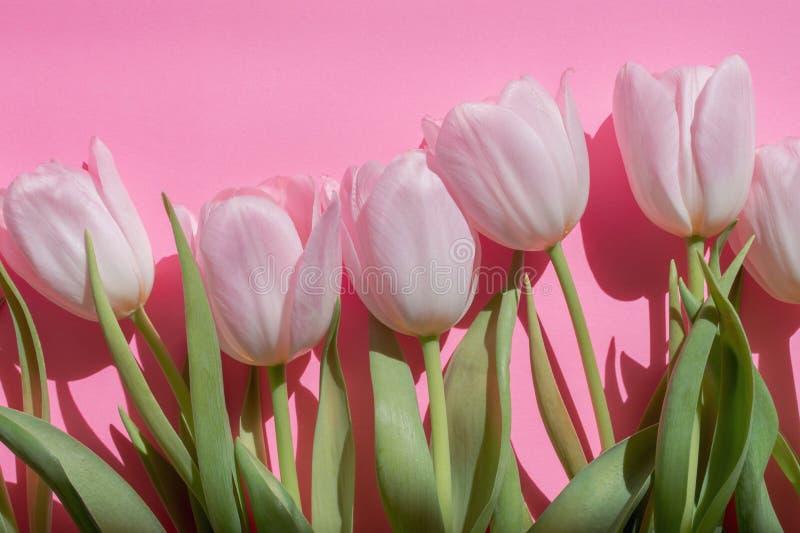 Tulipanes bastante rosados foto de archivo libre de regalías