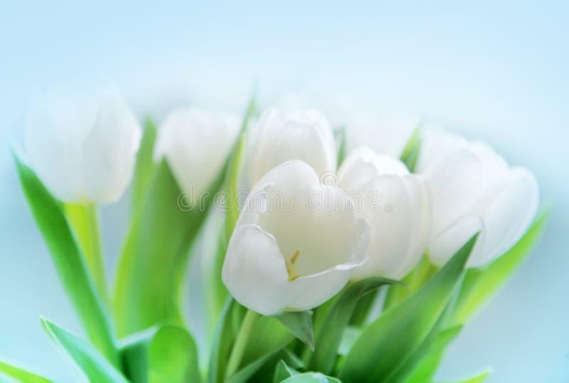 Tulipanes blancos imagen de archivo