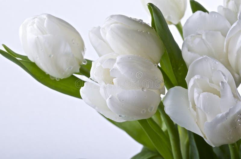 Tulipanes blancos fotografía de archivo