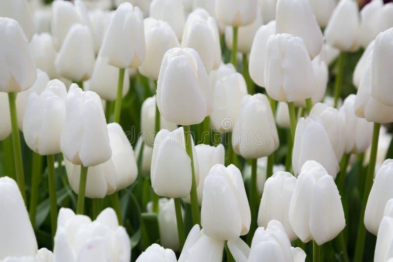 Tulipanes blancos con descensos del agua fotos de archivo libres de regalías
