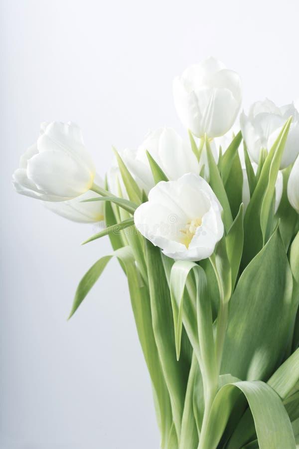 Tulipanes blancos del resorte imagen de archivo libre de regalías