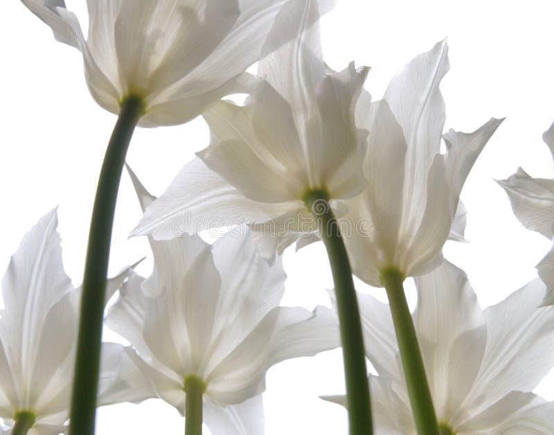 Tulipanes blancos en blanco imagen de archivo
