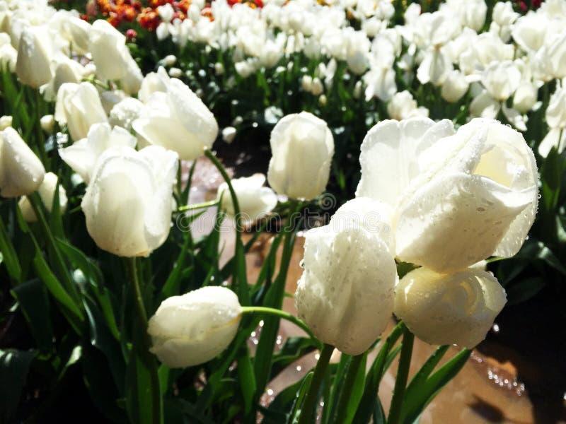 Tulipanes blancos florecientes con descensos del agua dulce fotos de archivo libres de regalías