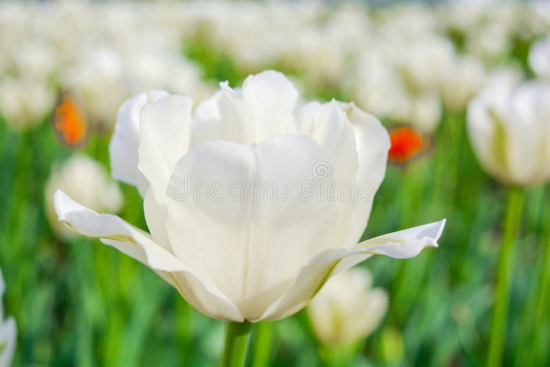 Tulipanes blancos florecientes en jardín del verano Primavera y fondo hermosos del verano imágenes de archivo libres de regalías