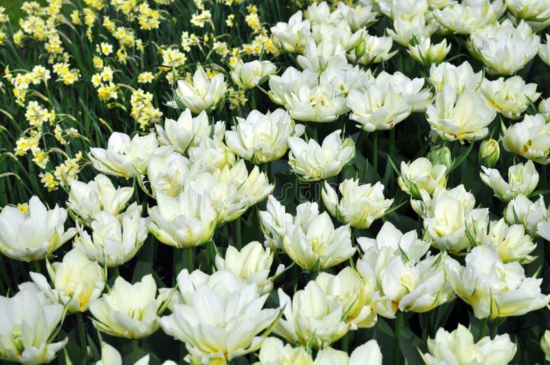 Tulipanes blancos, flores amarillas de los narcisos imagenes de archivo