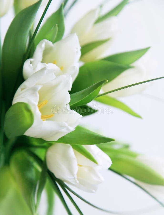 Tulipanes blancos macros fotos de archivo