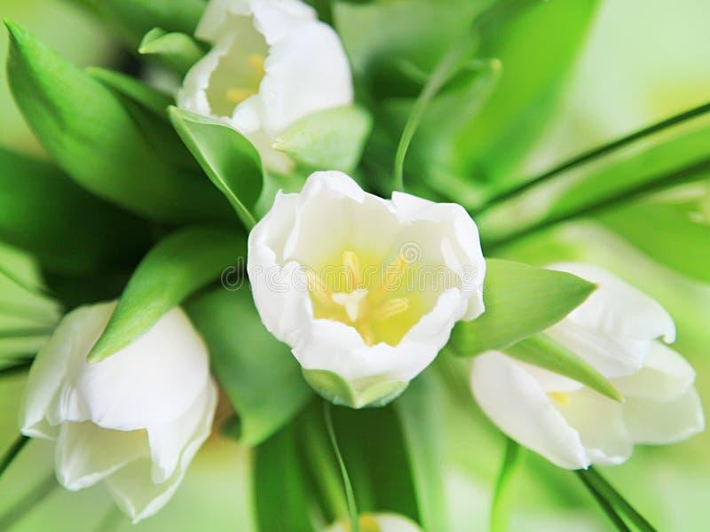 Tulipanes blancos macros fotografía de archivo libre de regalías