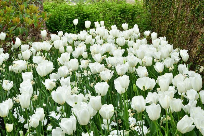 Tulipanes blancos a mediados de la disposición del bosque imágenes de archivo libres de regalías