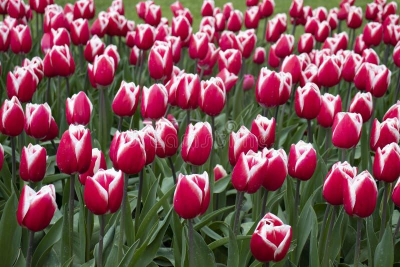 Tulipanes blancos rosados hermosos en el campo imagen de archivo libre de regalías