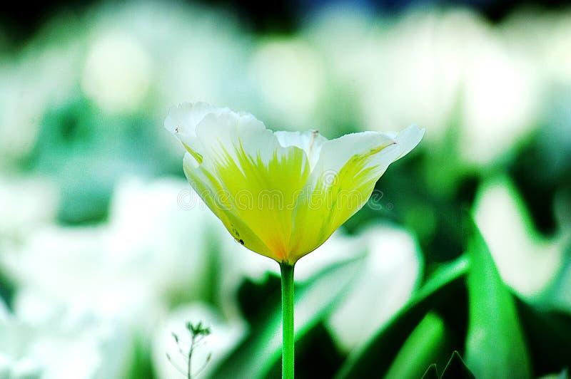 Tulipanes blancos y amarillos imagen de archivo