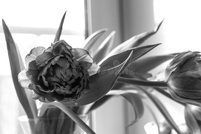 Tulipanes blancos y negros fotos de archivo libres de regalías