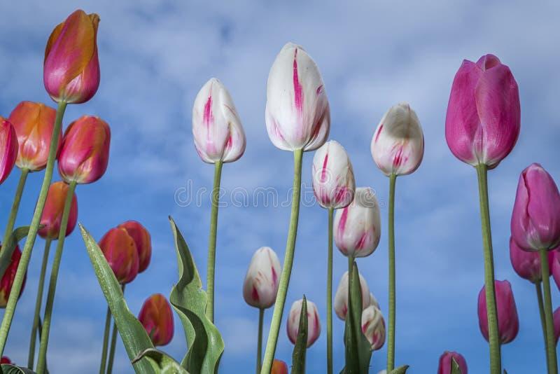 Tulipanes blancos y p?rpuras imagen de archivo libre de regalías