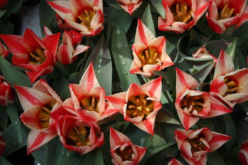 Tulipanes blancos y rosados amarillos foto de archivo
