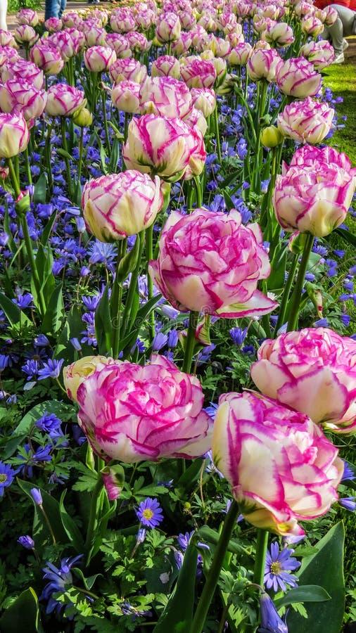 Tulipanes blancos y rosados frescos imagen de archivo