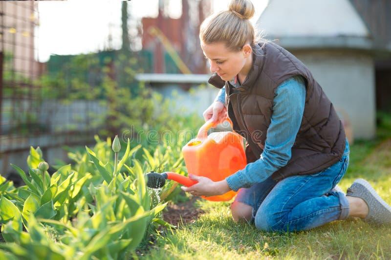 Tulipanes bonitos de Watering del jardinero de la mujer con la regadera en sprin imagenes de archivo