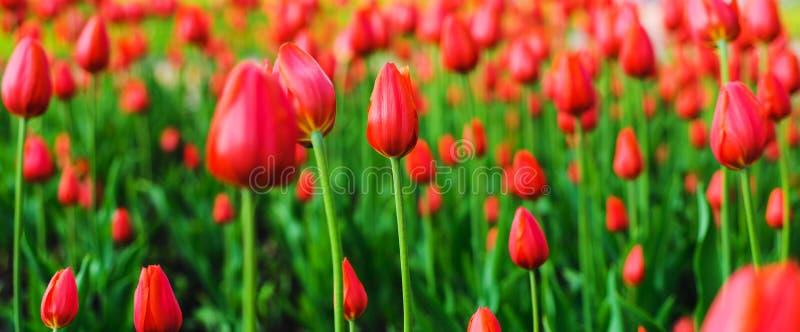 Tulipanes brillantes de las flores en primavera Floraci?n de la primavera en el parque Festival de la flor fotografía de archivo