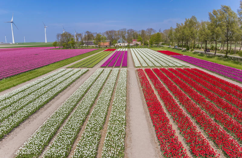 Tulipanes coloridos campo y turbinas de viento foto de archivo