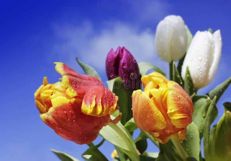 Tulipanes coloridos con agua-gotas fotos de archivo libres de regalías
