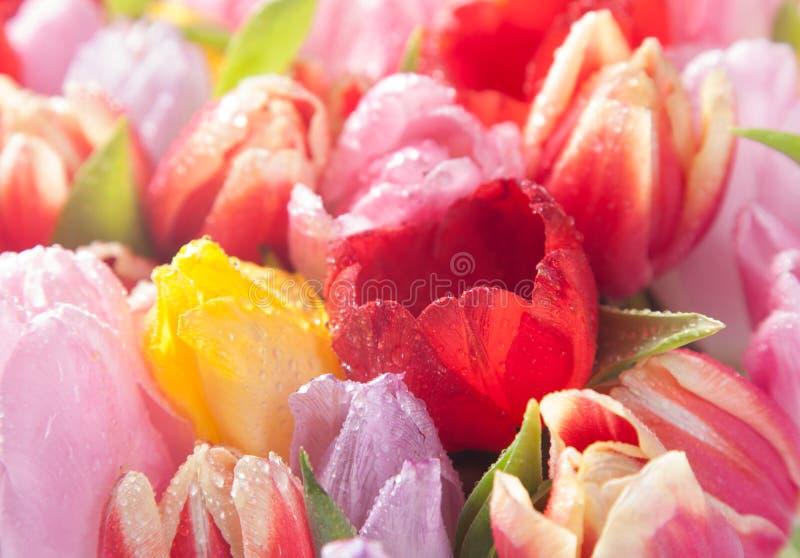Tulipanes coloridos de la primavera fotos de archivo libres de regalías