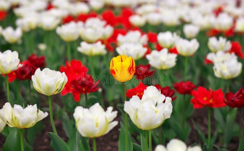 Tulipanes coloridos de la primavera foto de archivo libre de regalías