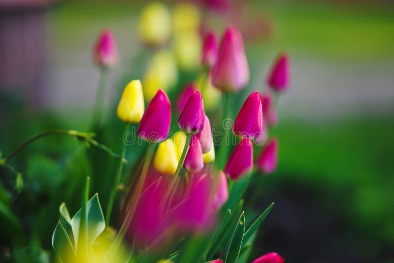 Tulipanes coloridos en césped Flores rosadas y amarillas del agua-lirio imagen de archivo libre de regalías